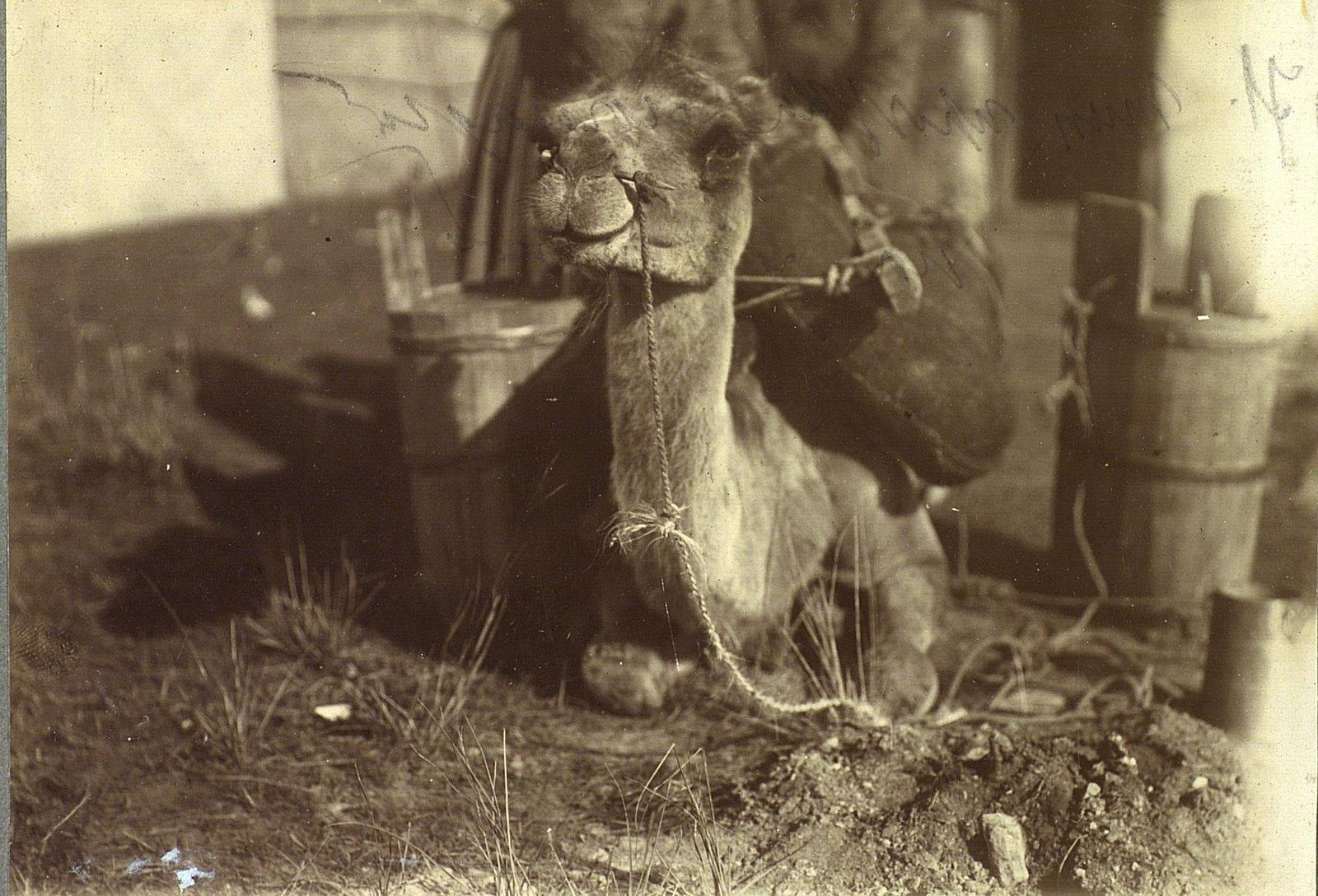 Вьючка верблюда