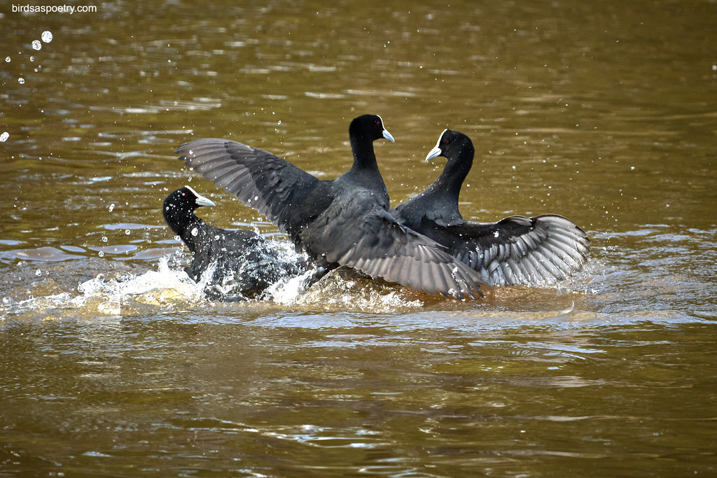 Eurasian Coot: The Balance of Power