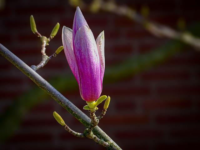 Magnolie / Magnolia