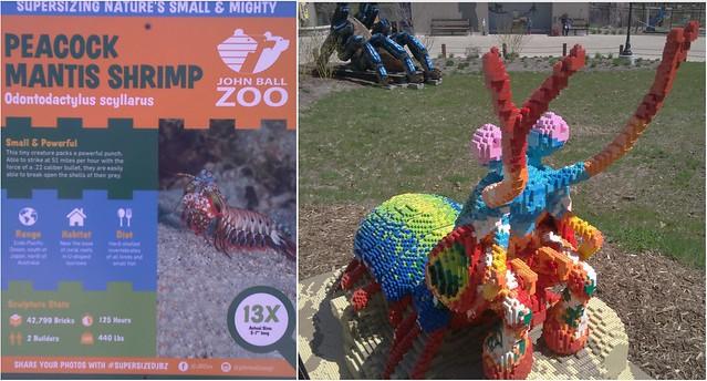 Peacock Mantis Shrimp bigger than life at John Ball Zoo