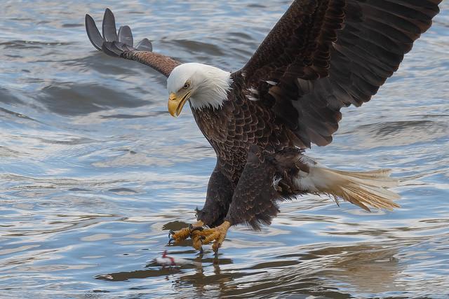 Bald Eagle Fishing 3 4-17-21