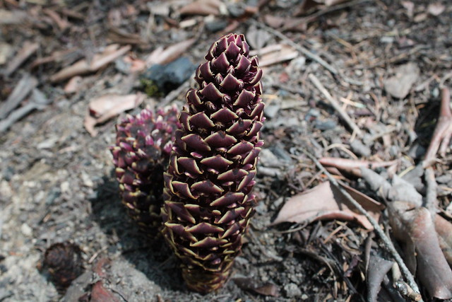 California ground cone in bloom