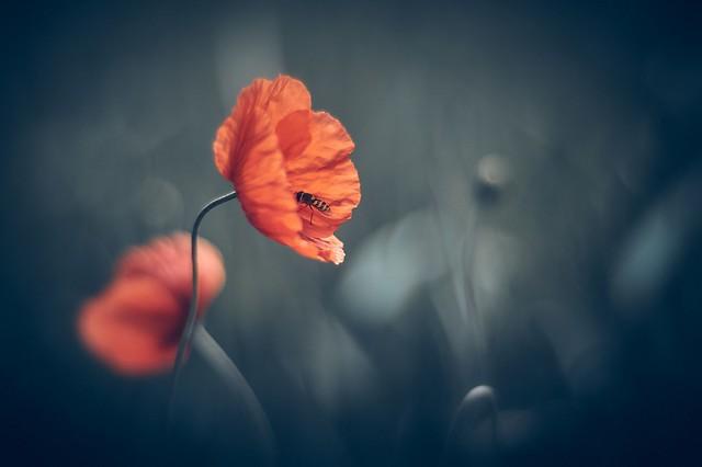 Wild red poppy (explored)