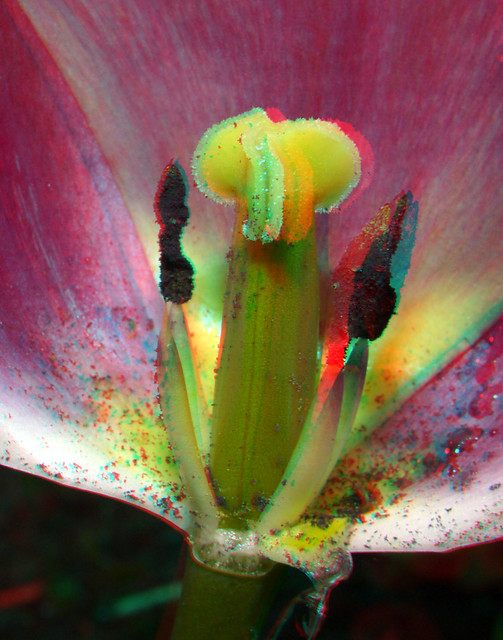 Tulip H-FT012+10  3D anaglyph