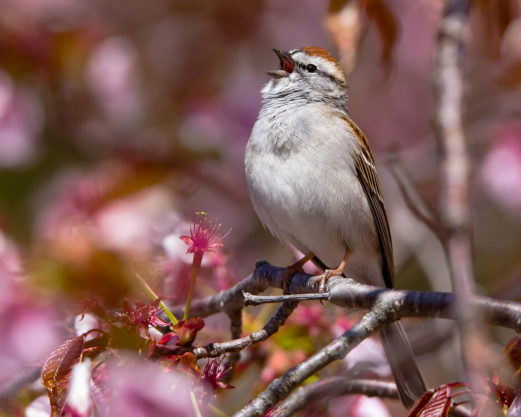 Chipping Sparrow Singing in a Cherry Tree