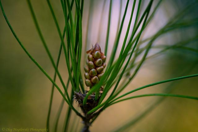 Baby Pine Cone (Explore)