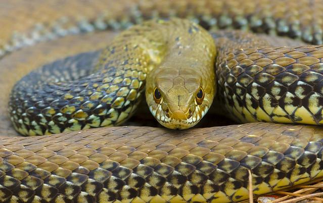 culebra bastarda / Montpellier snake