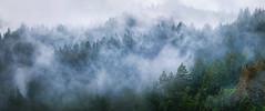 Redwoods & Fog