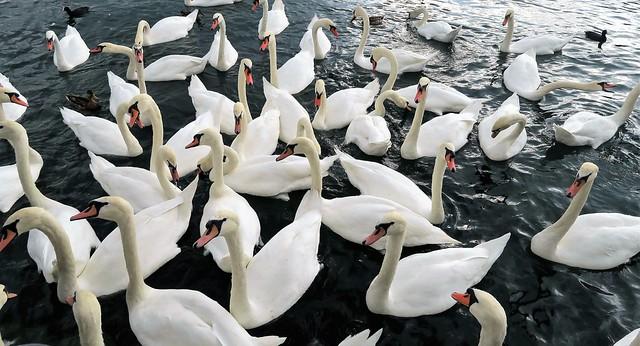 Swans in Zurich