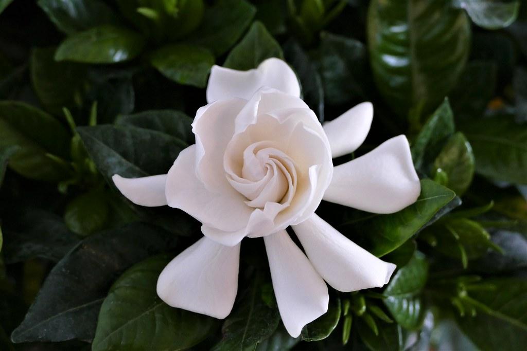 04.18.21.Gardenia jasminoide