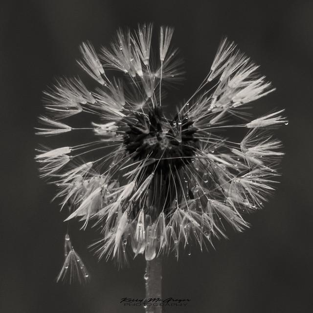 Simplicity (Taraxacum officinale common dandelion)