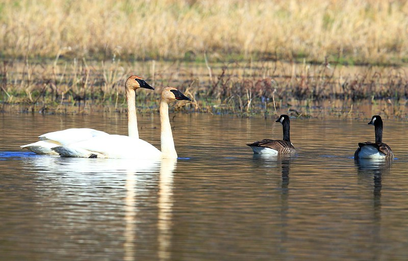 trumpeter swans at Cardinal Marsh IA 653A8314