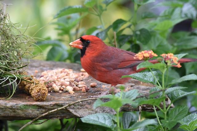 Northern Cardinal DSC_4507