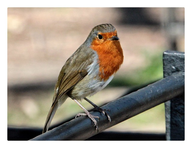 Robin in the sun