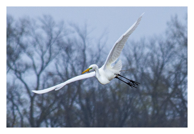 Great Egret in flight on a cold April day