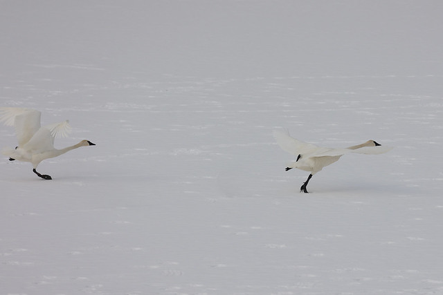 Trumpeter Swans taking off from the ice