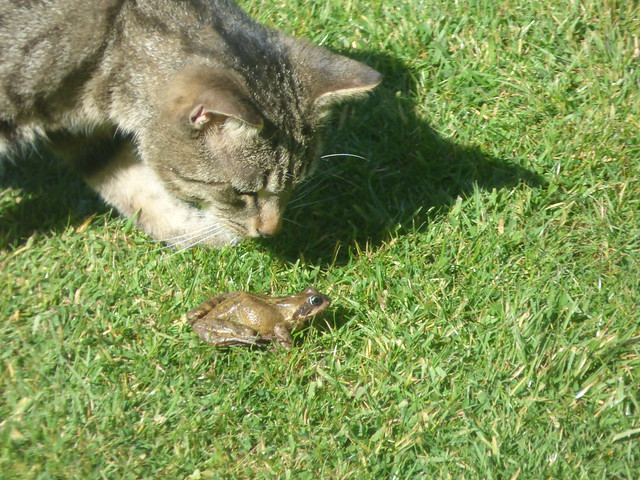 Tabby cat and a frog