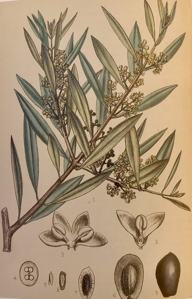 Ole Europaea, David Blair (Scottish, 1852-1925). From Robert Bentley and Henry Trimen, Medicine Plants. (London, 1880), vol. 3, no 172.