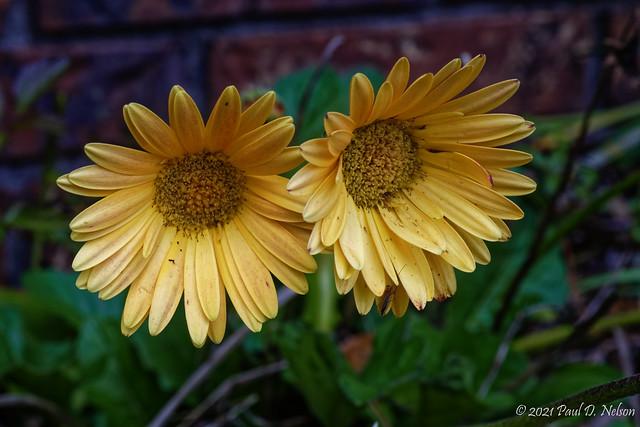 _PDN9795_Gerber Daisy