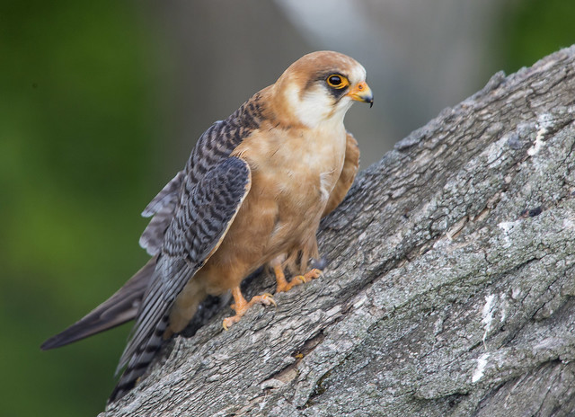 Red Footed Falcon  Female Hungary