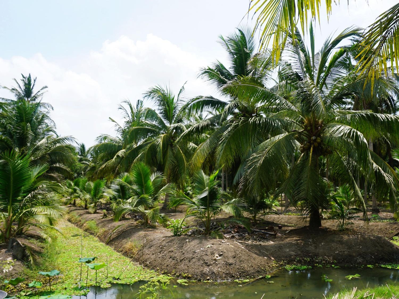 coconut sugar plantation