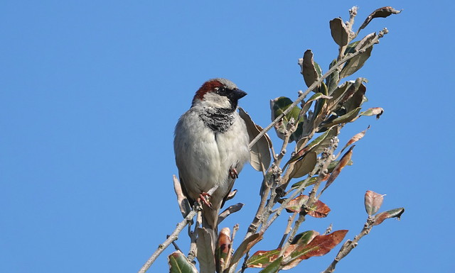 House Sparrow (Passer domesticus) ©
