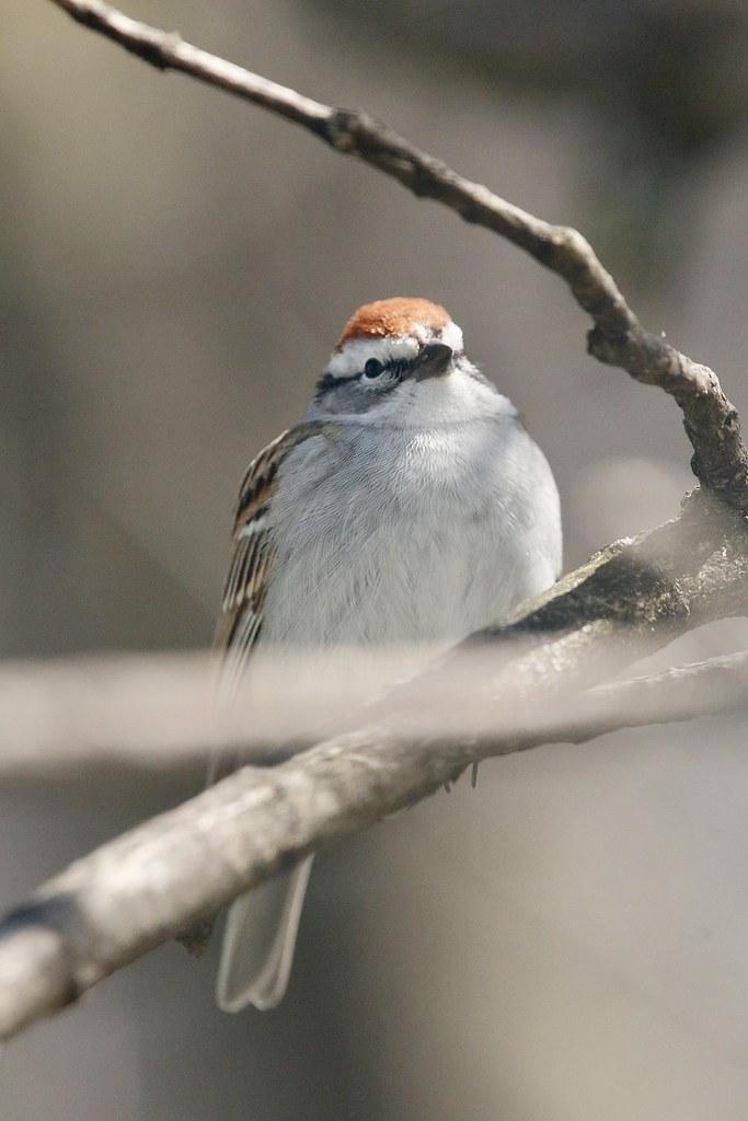 Chipping Sparrow. Glenburnie