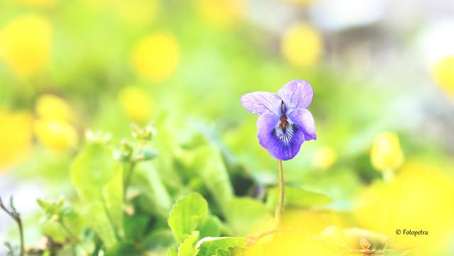 Veilchen(Viola)
