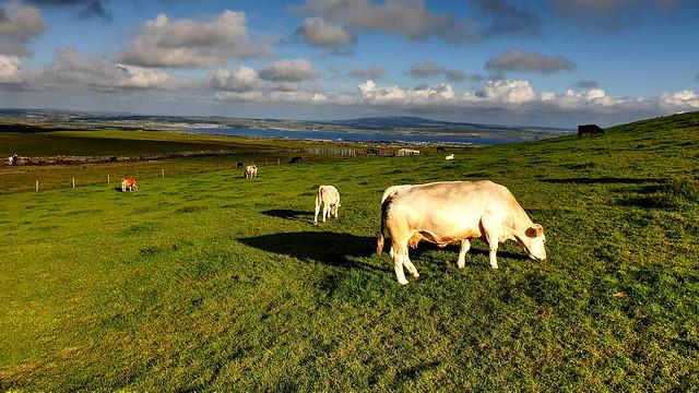 Vacas - Cows