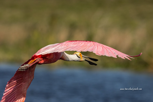 Open Mouth Spoonbill (Explored 4-19-21)