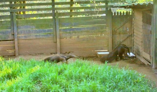 Tamanduá - Giant Anteater