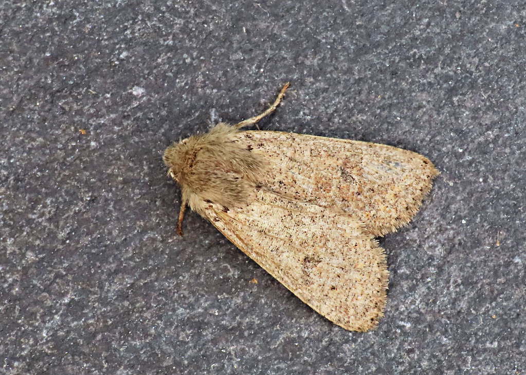 73.245. Orthosia cruda. (BF. 2182. Small Quaker) IMG_6175