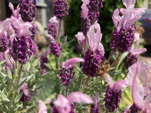 Bees and nasturtium
