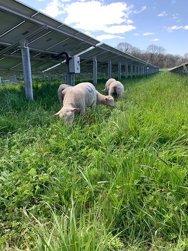 Lamb grazing under solar panel