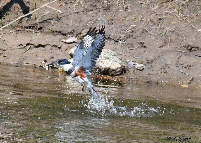 Female Belted Kingfisher With A Snack