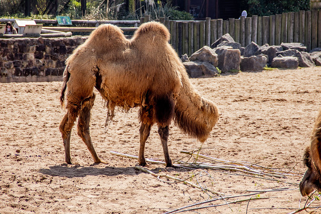 2021 - 04 - 17 - EOS 600D - Camel with no head - Chester Zoo - 000
