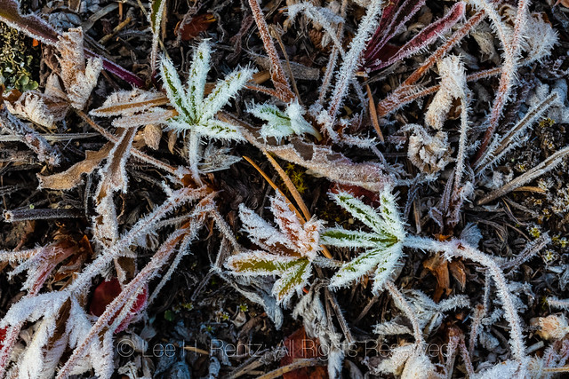Frosty Cinquefoil Leaves along Beartooth Highway