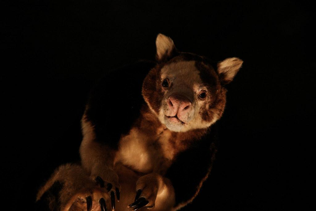 Tree Kangaroo - Req 3
