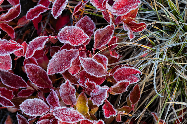 Frosty Huckleberry Leaves along Beartooth Highway
