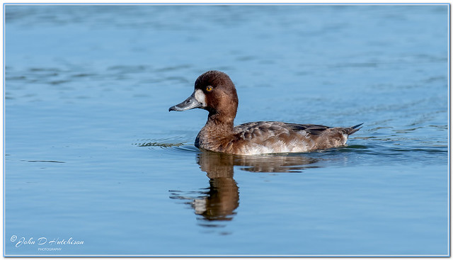 Lesser-Scaup-Duck-(-Female-)