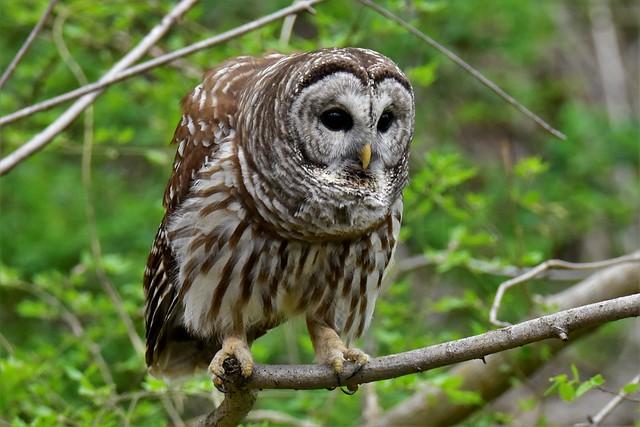 More Barred Owl shots I really like the lush green backdrop