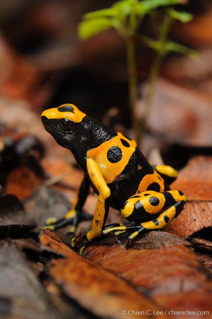 Yellow-headed Poison Frog (Dendrobates leucomelas) ♂