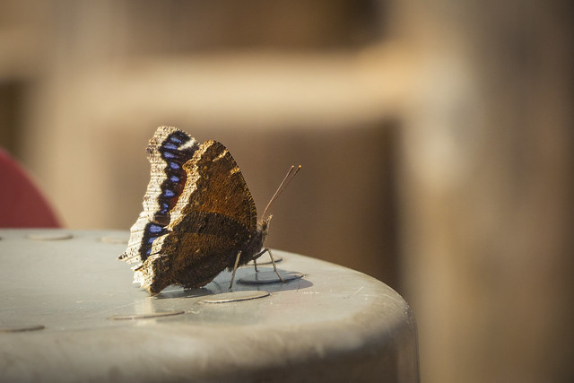 Mourning Cloak Butterfly / Nymphalis Antiopa
