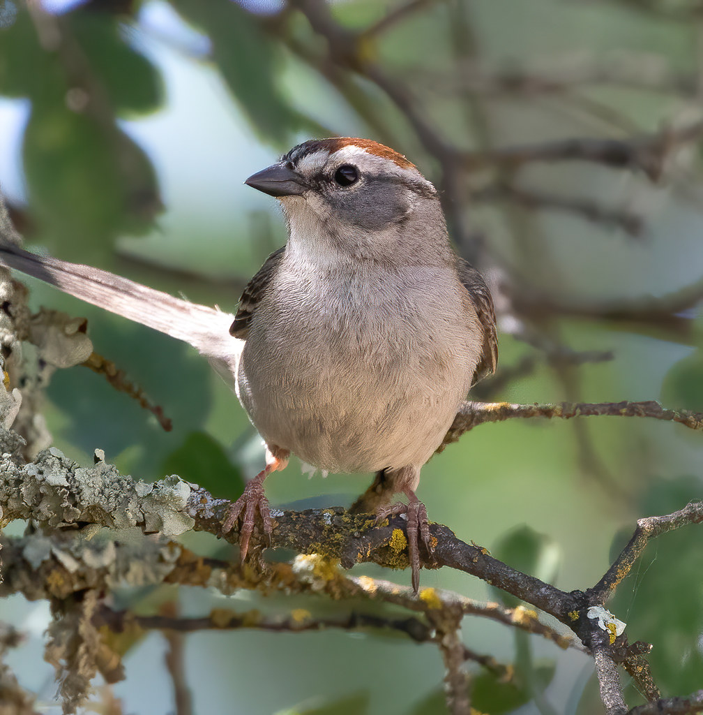 Chipping Sparrow 41921-softness
