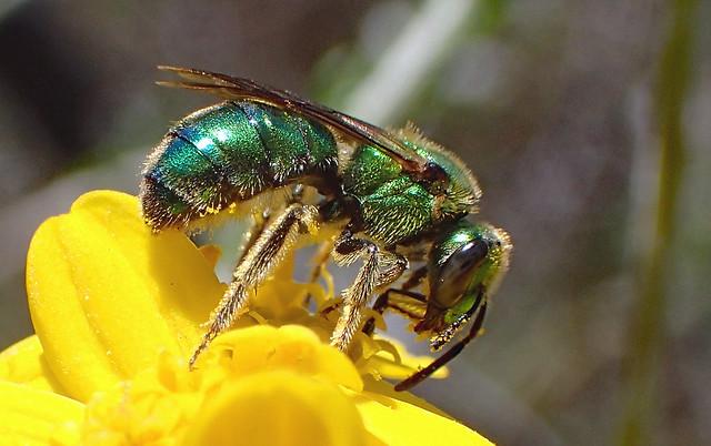 Green Sweat Bee (Augochlorella pomoniella)