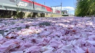 八重桜の花びらの絨毯と金太郎