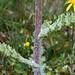 naturgucker.de posted a photo:Margeritenblättriges Greiskraut (Senecio leucanthemifolius)(c) Hans Schwarting