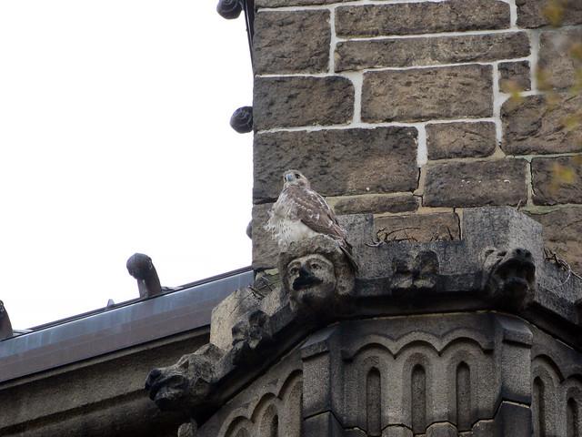 Hawk Beside Nest - 6603