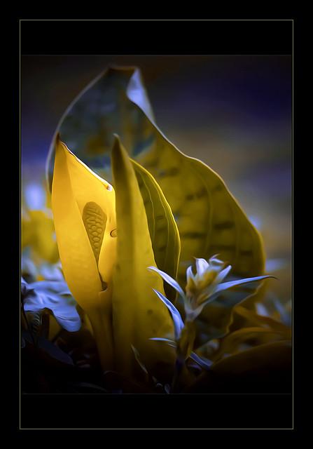 Lysichiton americanus     Moerasaronskelk
