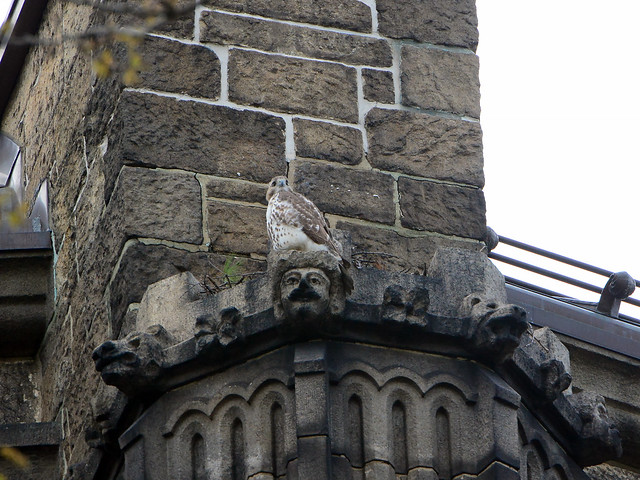 Hawk Beside Nest - 6588
